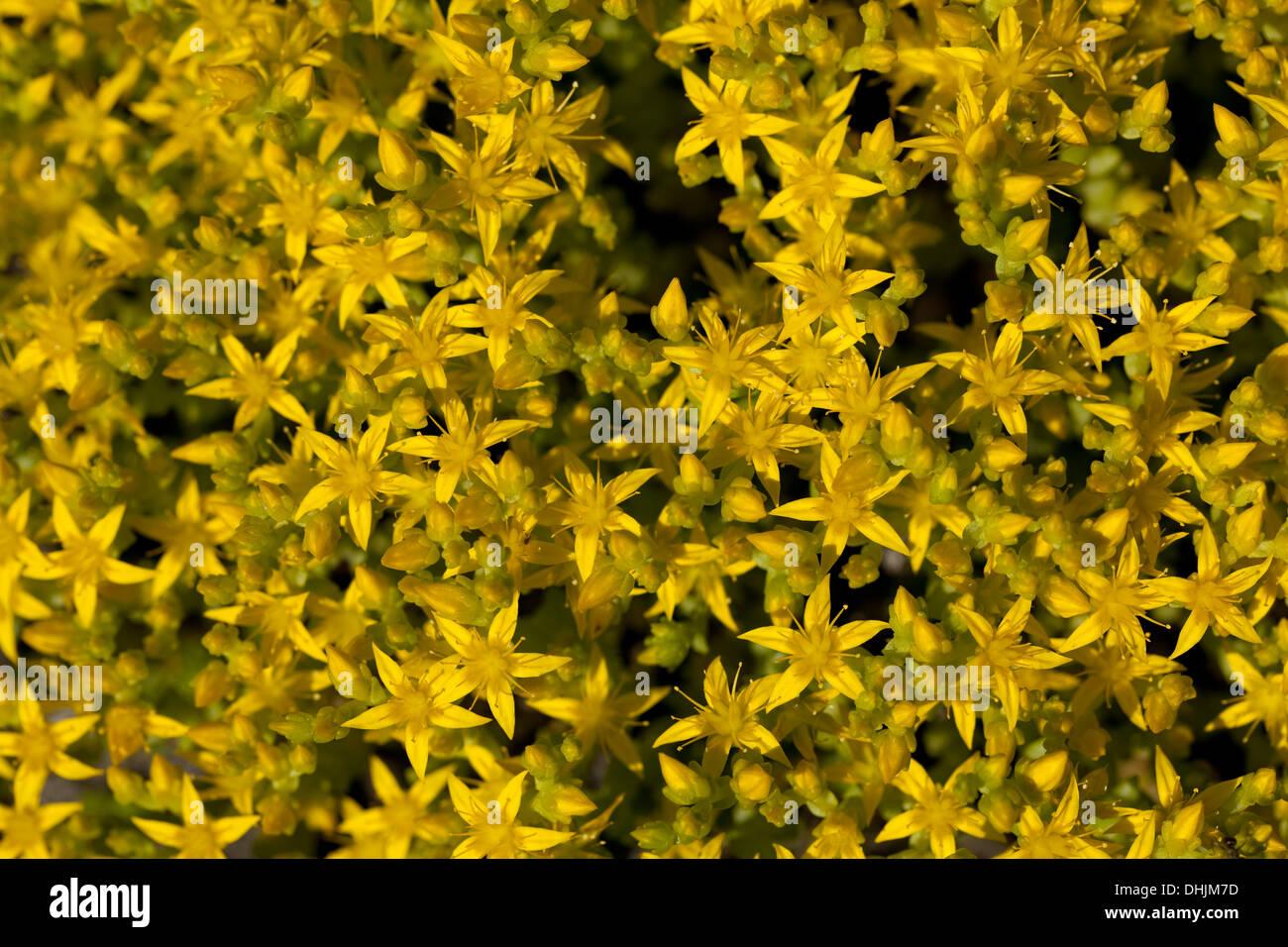 Petite fleur jaune (Sedum acre) comme arrière-plan Photo Stock