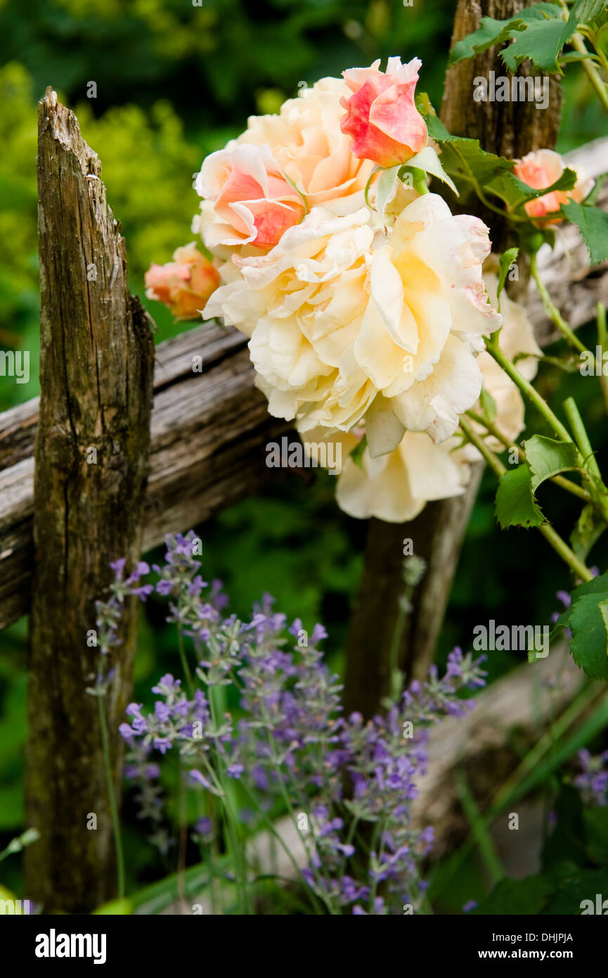 Roses dans le jardin, jardin, fleurs rose Banque D\'Images ...