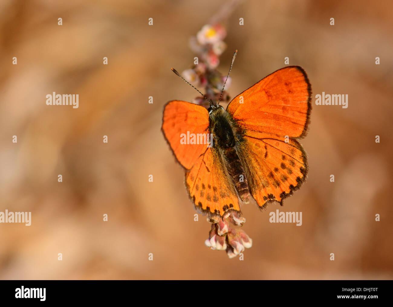 Fiery moindre Cuivre, Butterfly Photo Stock