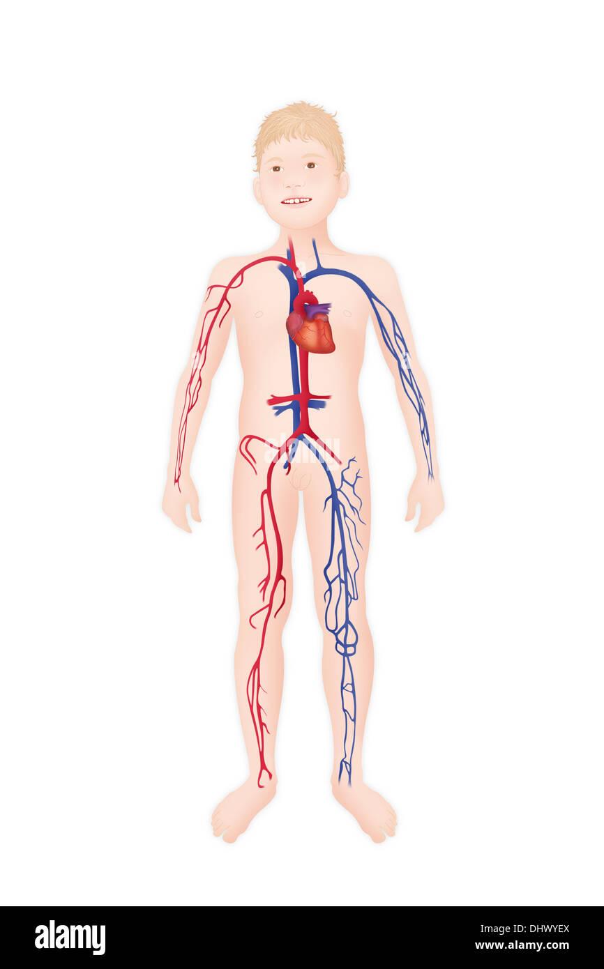 Blood Circulation Heart Drawing Banque d'image et photos   Alamy