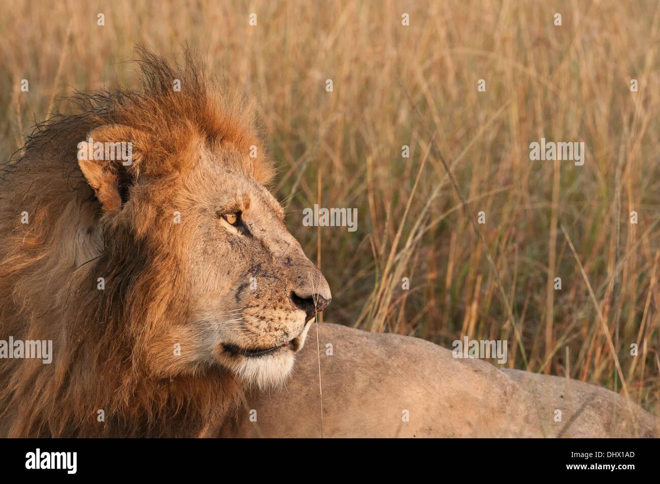 Lion mâle se réveille juste après la première lumière et des pairs dans la distance que le soleil se lève et commence une nouvelle journée dans le Mara au Kenya. Photo Stock