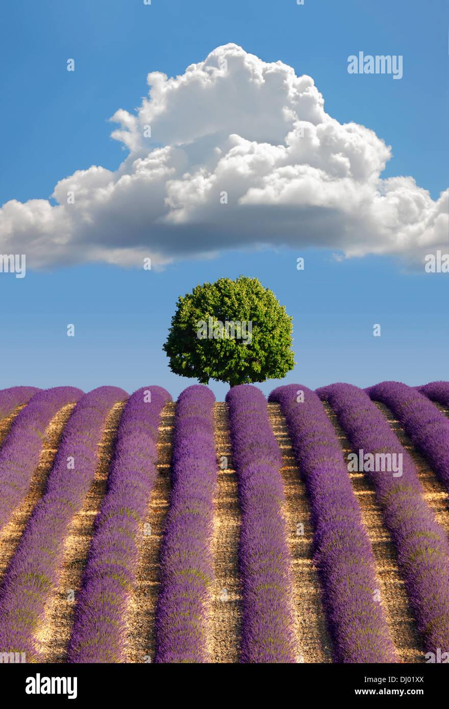 Champ de lavande, Provence Photo Stock