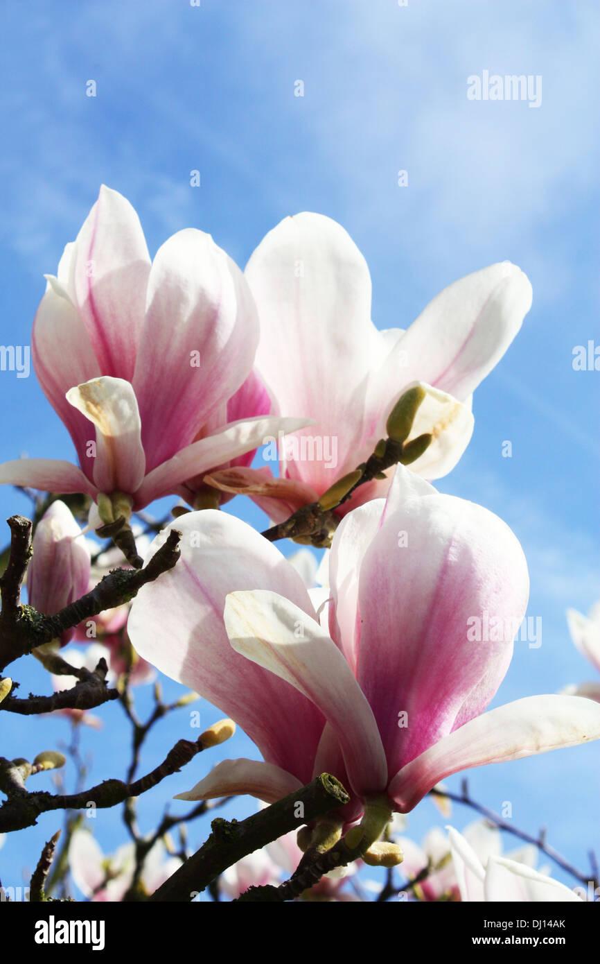Magnolia rose fleurs dans la saison du printemps Photo Stock