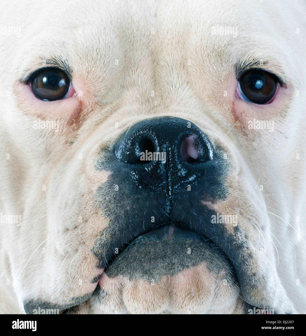 American Bulldog in front of white background Banque D'Images