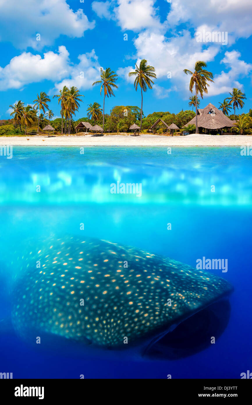 Requin-baleine ci-dessous Banque D'Images