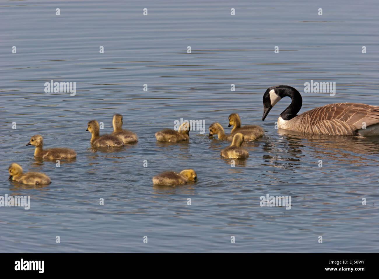 Les oies bernaches du Canada Oiseaux de bébé Photo Stock