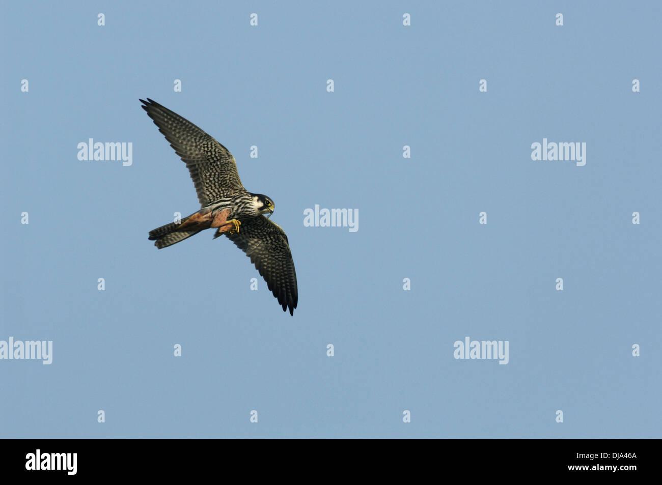 Hobby Falco subbuteo Photo Stock