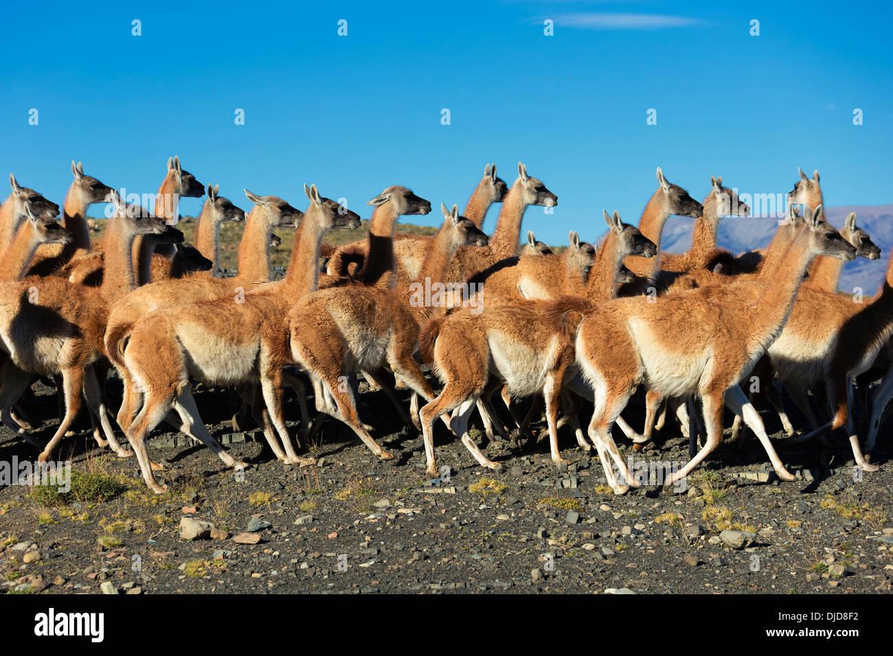 Petit troupeau de guanacos (Lama guanicoe) dans le Parc National des Torres del Paine.Patagonie.Chili Banque D'Images