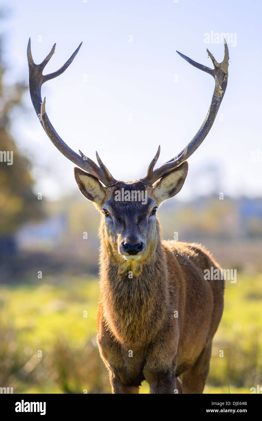 Portrait des adultes puissants majestueux red deer stag en automne Photo Stock