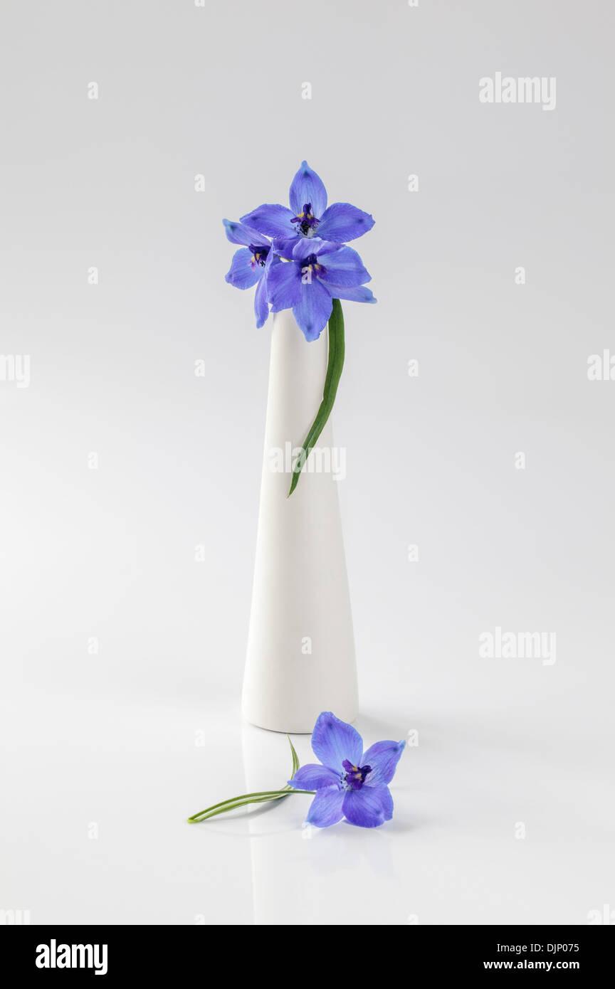 Delphiniums bleus dans vase blanc sur fond blanc Photo Stock