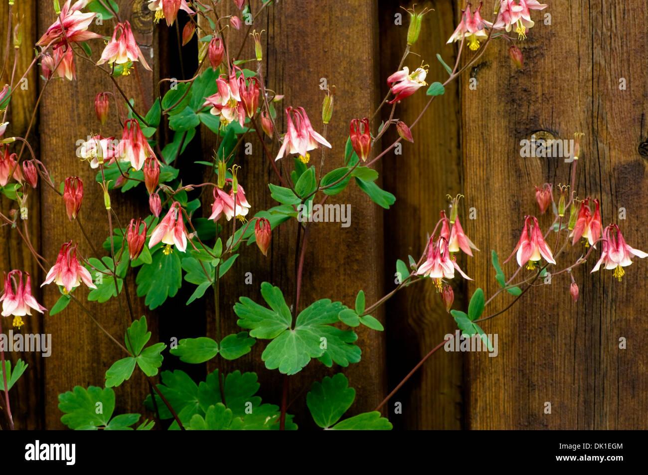 Un rouge magenta et ancolie blanche plante contre une barrière de ...