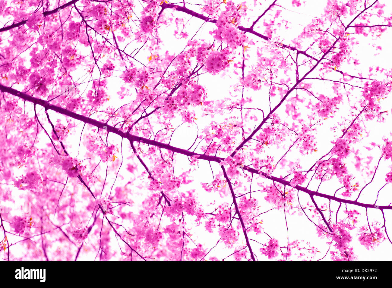 Close up low angle view of pink Cherry Blossoms sur spring branch Photo Stock