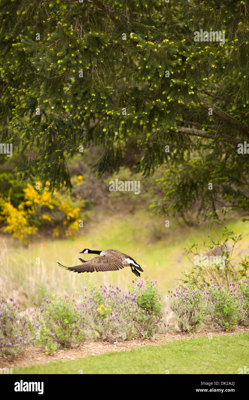 Canada goose avec propagation wings flying in park Photo Stock