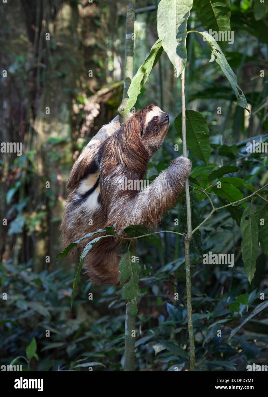 Secouru Brown-throated trois-toed Sloth (Bradypus variegatus) arbre d'escalade dans la forêt de pluie Photo Stock