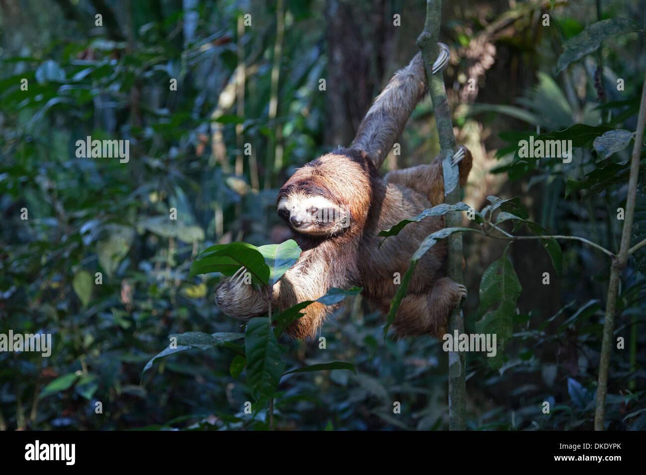 Secouru Brown-throated trois-toed Sloth (Bradypus variegatus) pour atteindre la forêt tropicale à feuilles Photo Stock