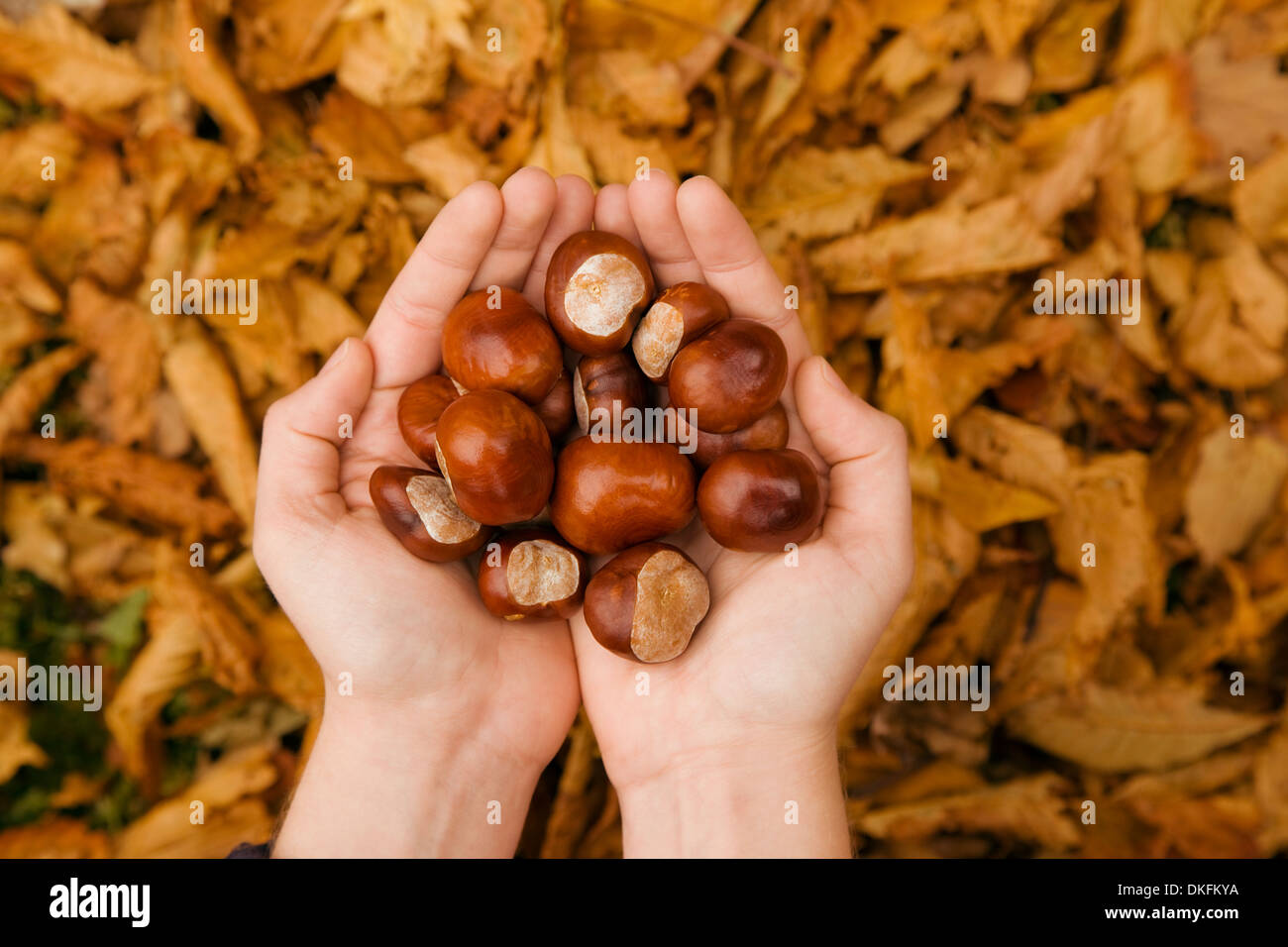 Close up of female hands in autumn park holding conkers Banque D'Images