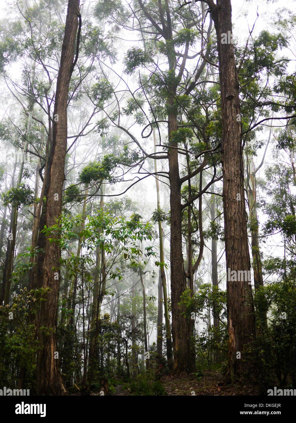 Forêt de pins près de Nuwara Eliya, Sri Lanka Photo Stock