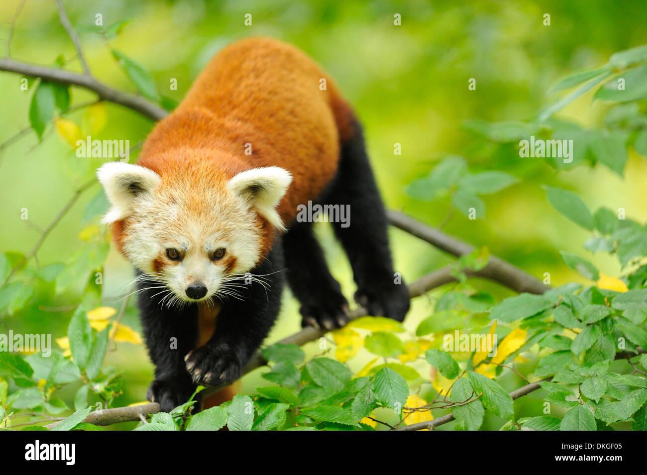 Le panda rouge (Ailurus fulgens) dans un arbre Photo Stock