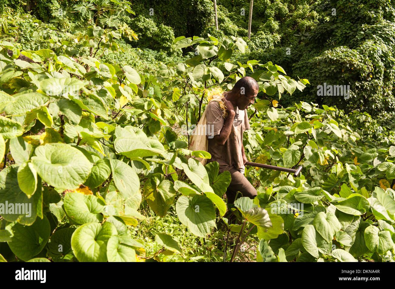 Housse de Jiko des légumes-racines qu'il a grandi à travers les buissons de kava dans son jardin à l'extérieur de la colline raide, Lomati, Matuku, Fidji Photo Stock
