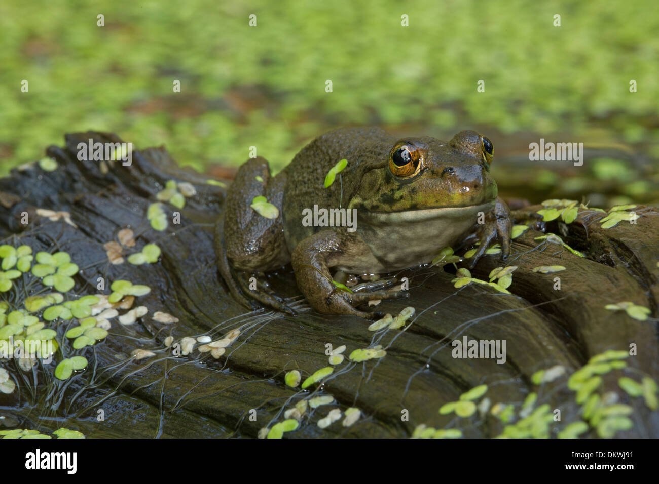 (Lithobates catesbeianus grenouille taureau américain), Rana catesbeiana Banque D'Images