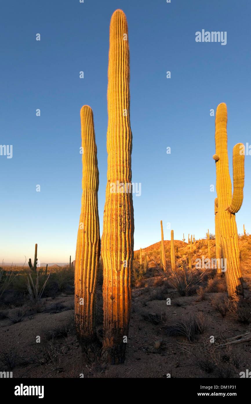 Cactus géant saguaro (Carnegiea gigantea), à l'ouest de Saguaro National Park, Tucson, Arizona Photo Stock
