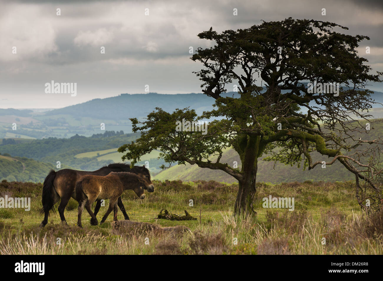 Poneys sauvages sur Exmoor, Somerset, Angleterre Photo Stock