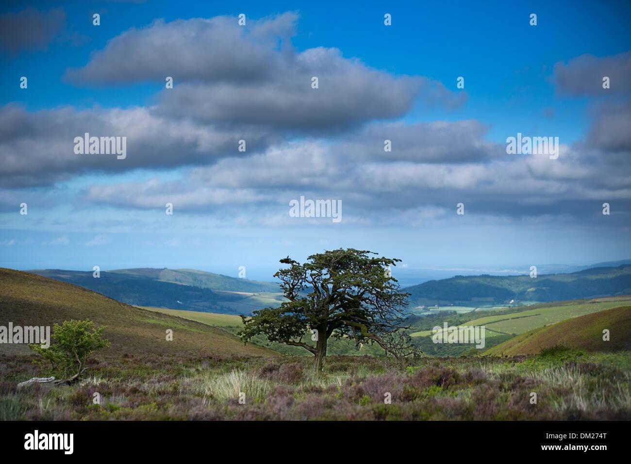 Sur un arbre commun Porlock, Exmoor, Somerset, Angleterre Photo Stock