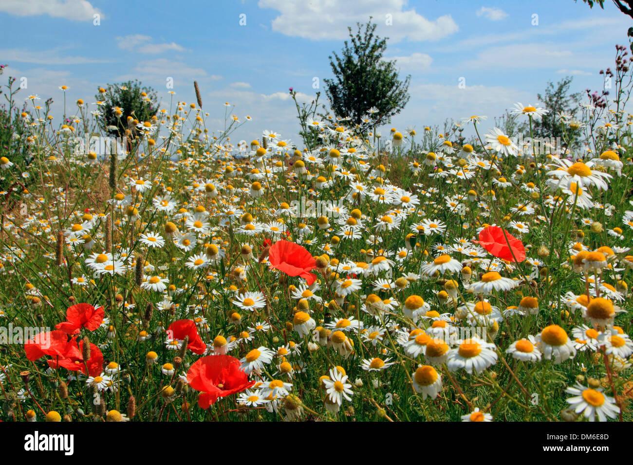 Prairie avec des fleurs Coquelicot (Papaver rhoeas) et de la marguerite blanche (Chrysanthemum leucanthemum Leucanthemum vulgare), à l'al. Banque D'Images