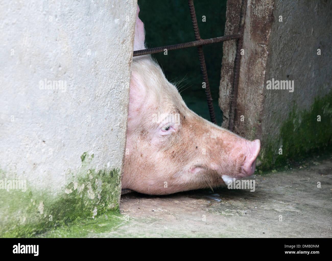Porc domestique (Sus scrofa domestica) poussant la tête par barres de cage Photo Stock