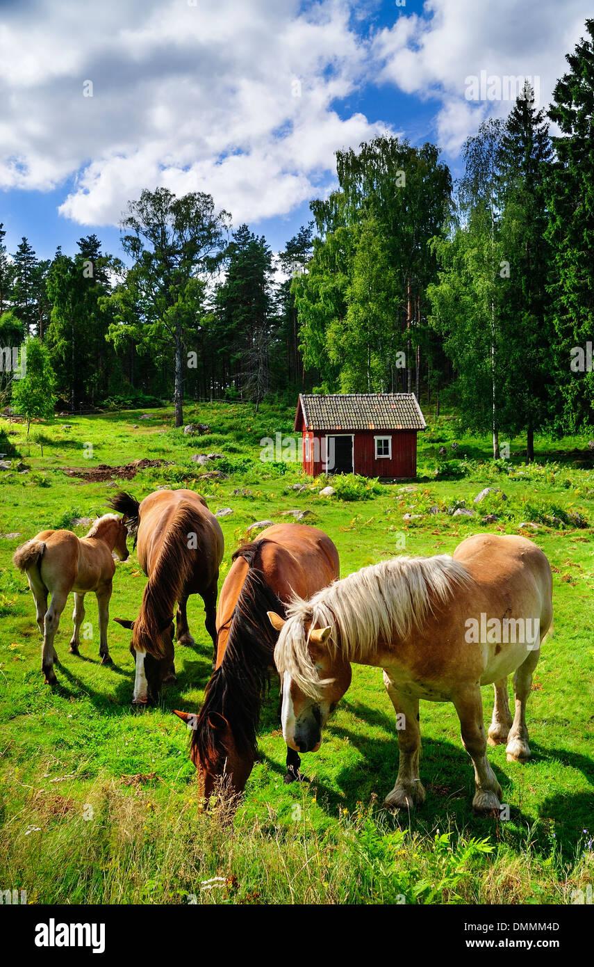 Schweden, Smaland, Kalmar laen, Vimmerby, Fjaelster sur les herbages des chevaux, Banque D'Images