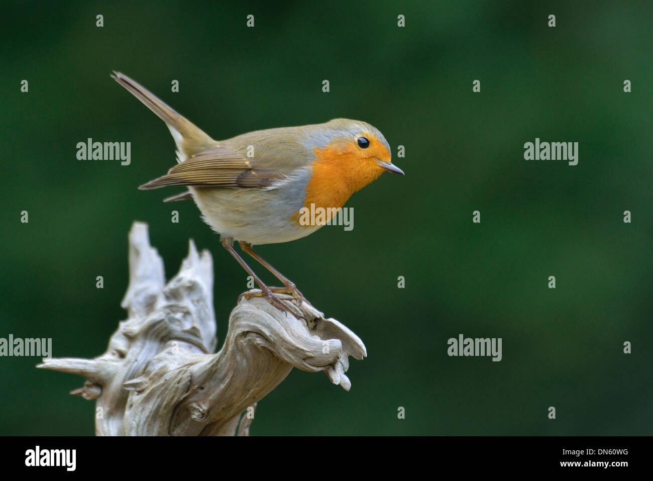 European Robin (Erithacus rubecula aux abords), de l'Ems, Basse-Saxe, Allemagne Banque D'Images