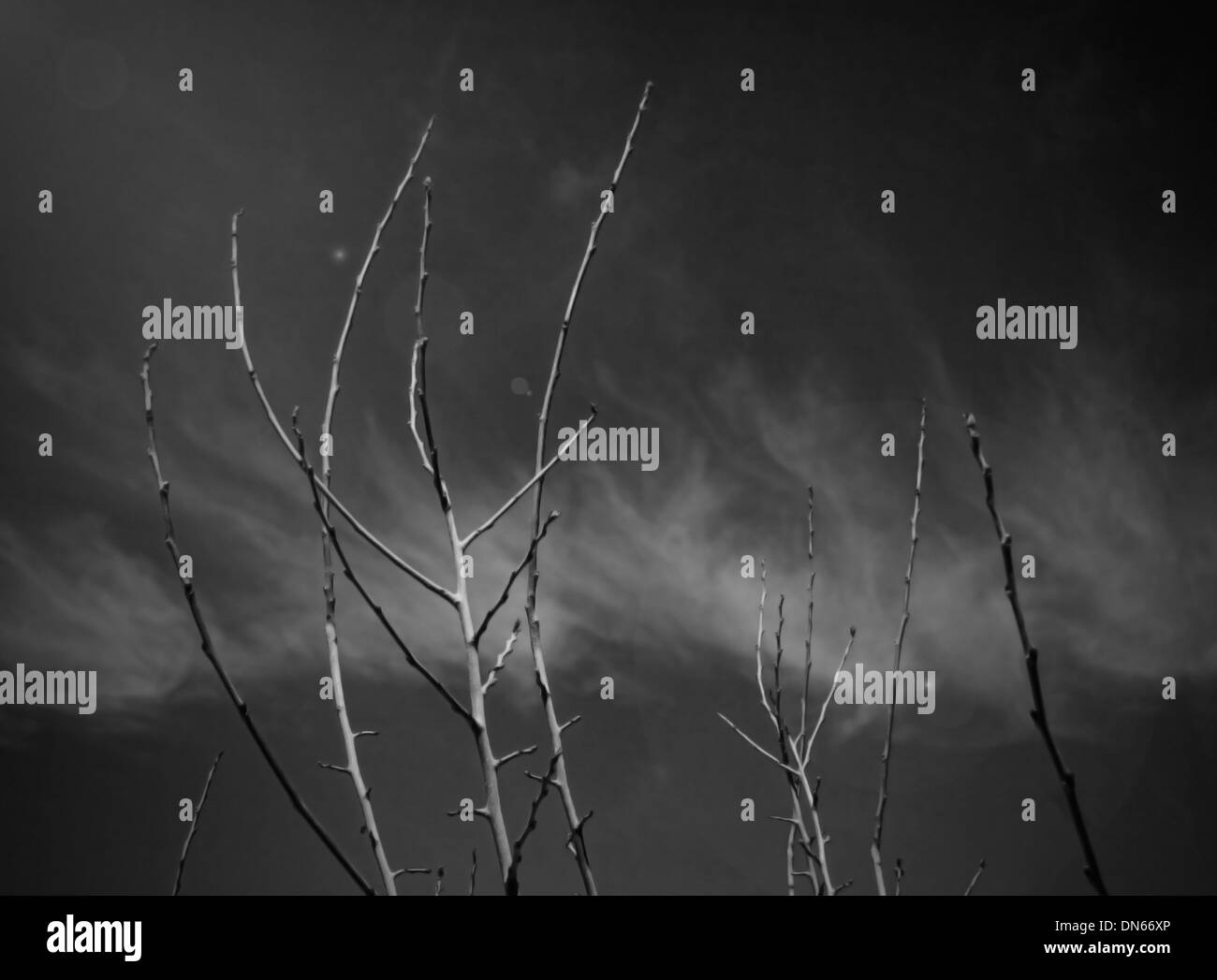 Branches noir et blanc B/W ciel nuages Sinaï Égypte plantes mortes sèches sticks stick flair du désert Photo Stock