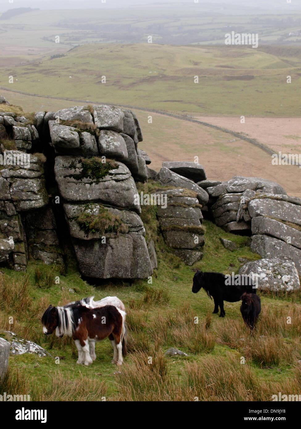 Moorland poneys, Roughtor, Bodmin Moor, Cornwall, UK Banque D'Images