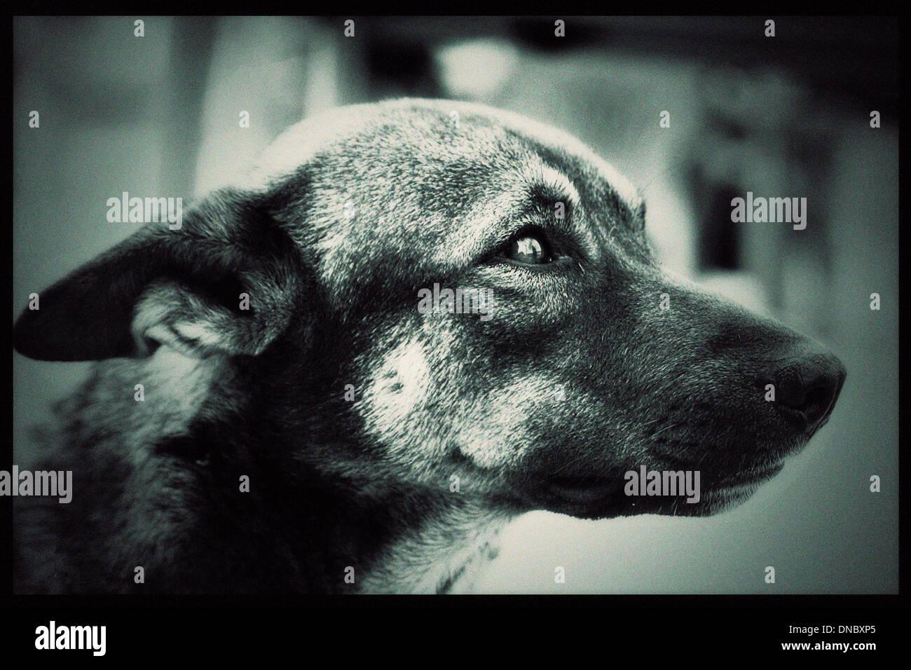 Chien animal stare look eyes B/W noir et blanc nez oreilles souris portrait Photo Stock