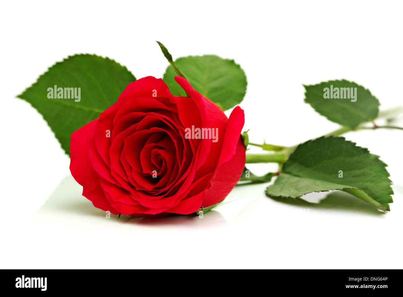 Rose rouge sur blanc Photo Stock