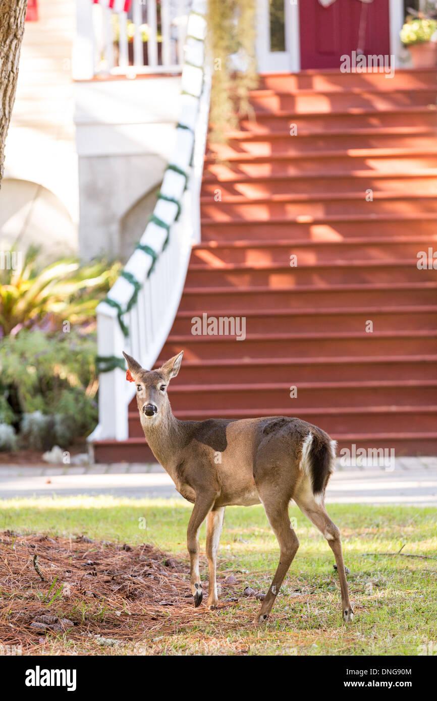 Les cerfs en liberté sur Fripp Island, SC. Photo Stock