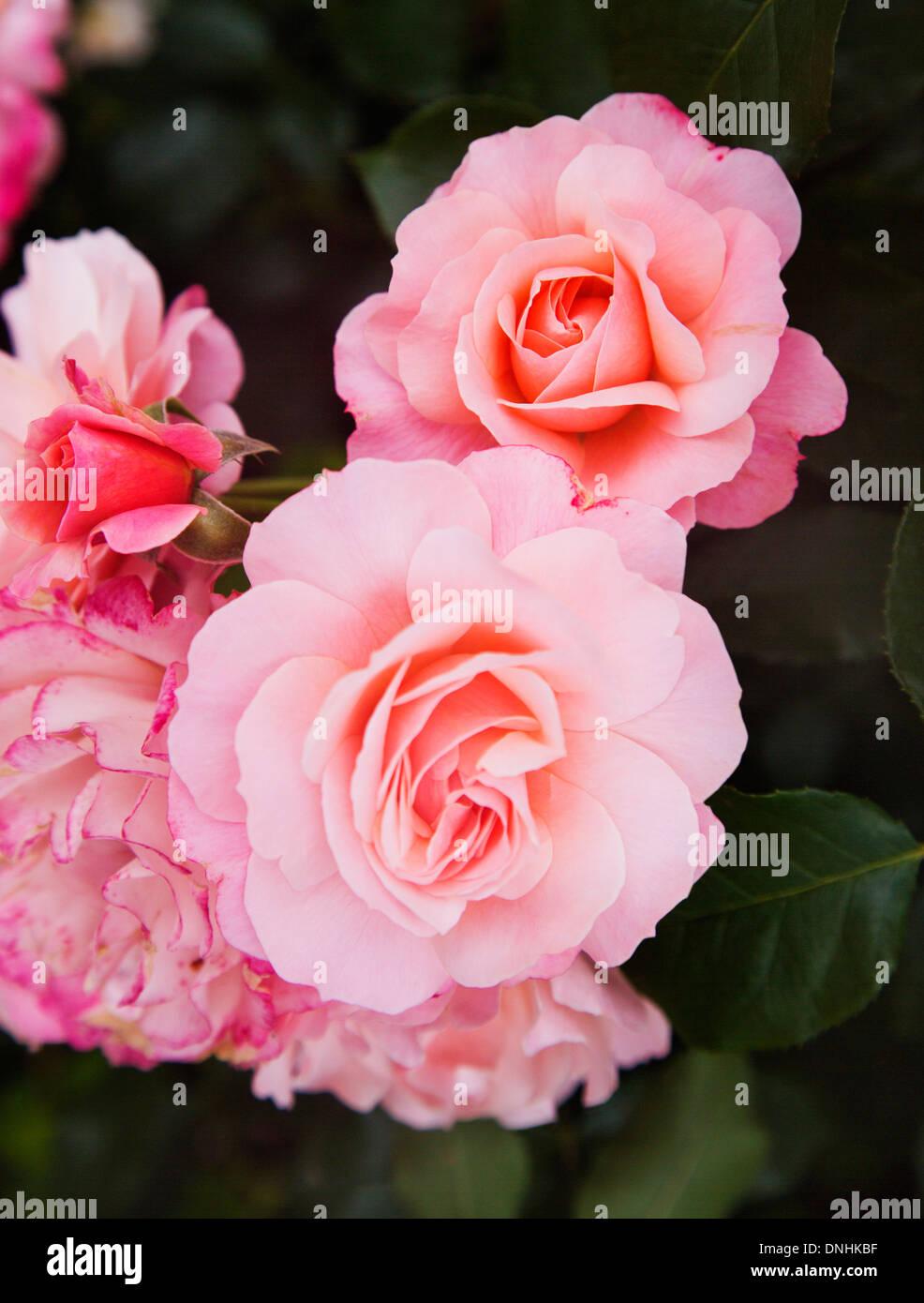 Close-up of rose des fleurs, Villa Cimbrone, Ravello, Province de Salerne, Campanie, Italie Banque D'Images