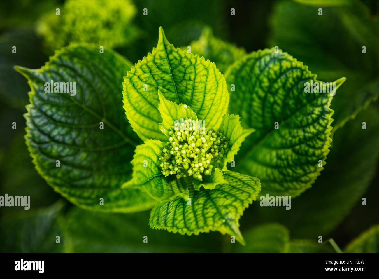 Close-up de feuilles, la Villa Cimbrone, Ravello, Province de Salerne, Campanie, Italie Banque D'Images