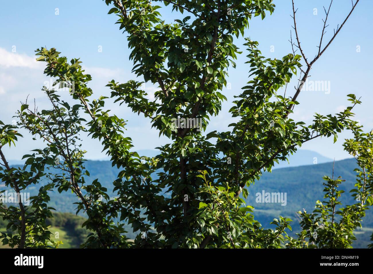 Close-up d'un arbre avec des collines en arrière-plan, Volterra, Province de Pise, Toscane, Italie Banque D'Images