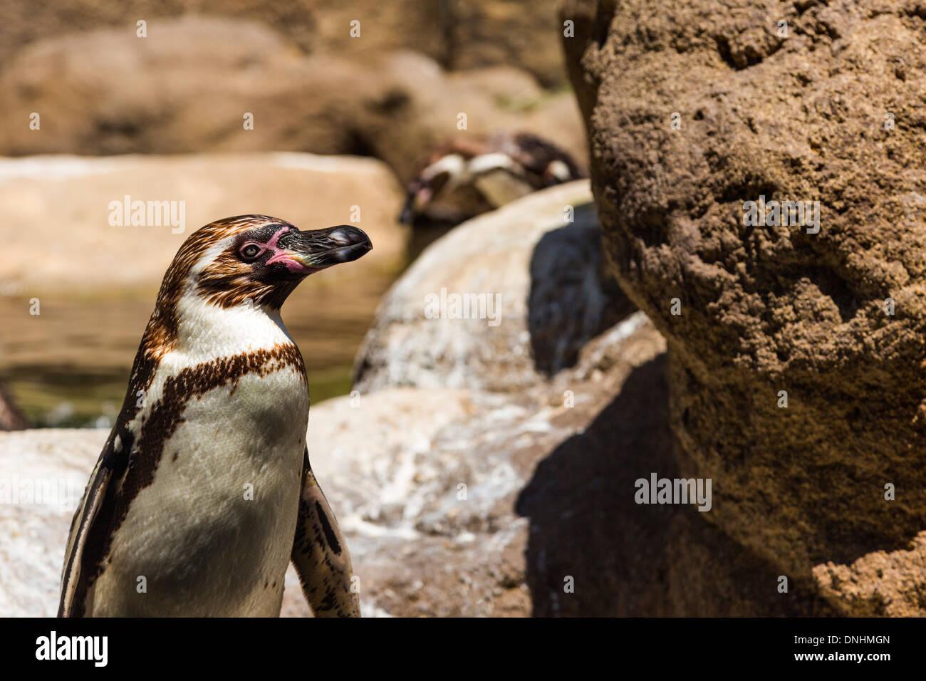 Manchot de Humboldt (Spheniscus Humboldt) dans un zoo, le Zoo de Barcelone, Barcelone, Catalogne, Espagne Banque D'Images