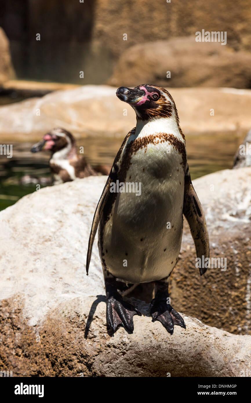Les manchots de Humboldt (Spheniscus Humboldt) dans un zoo, le Zoo de Barcelone, Barcelone, Catalogne, Espagne Banque D'Images
