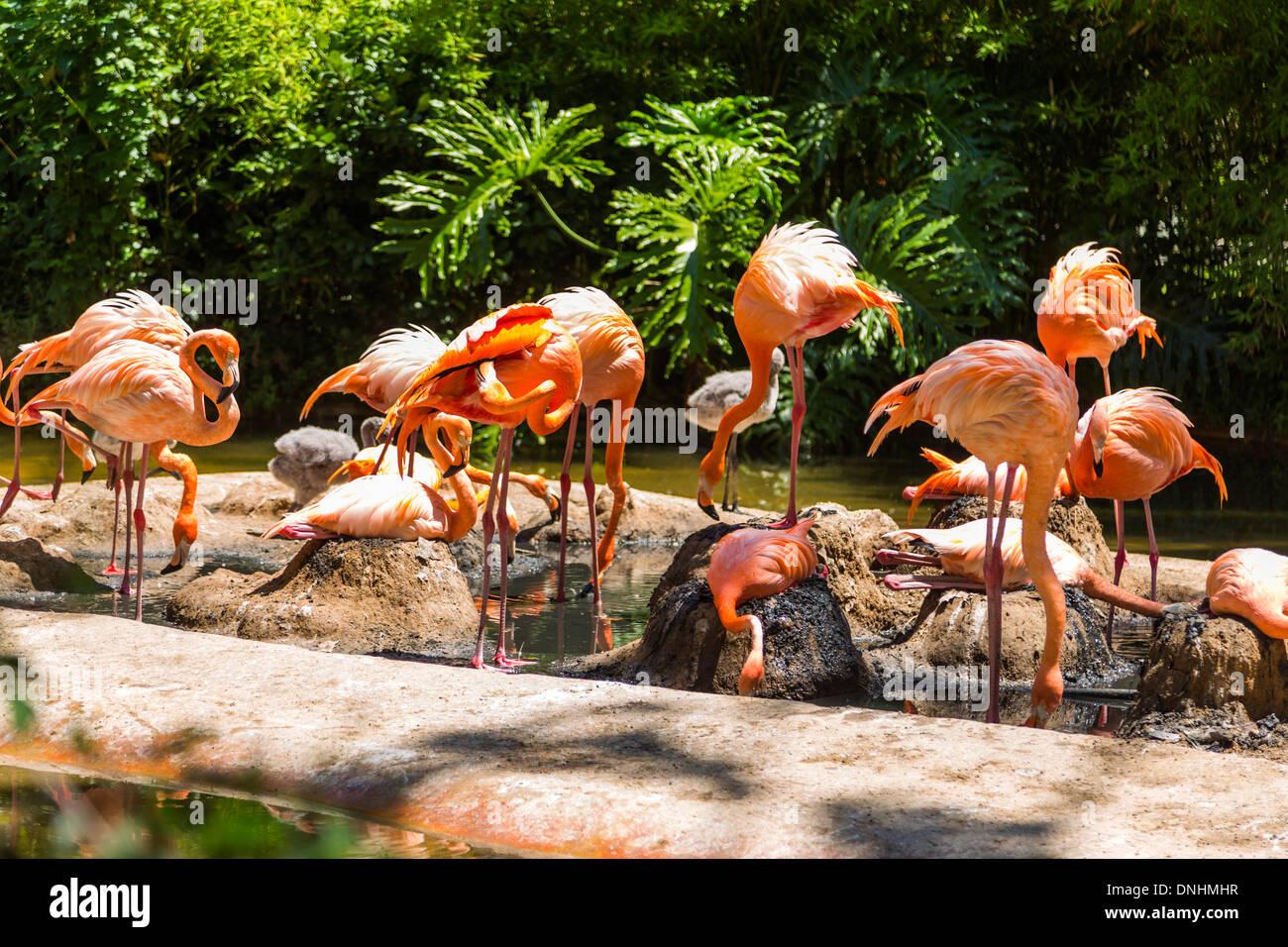 Volée de flamants roses dans un zoo, le Zoo de Barcelone, Barcelone, Catalogne, Espagne Banque D'Images