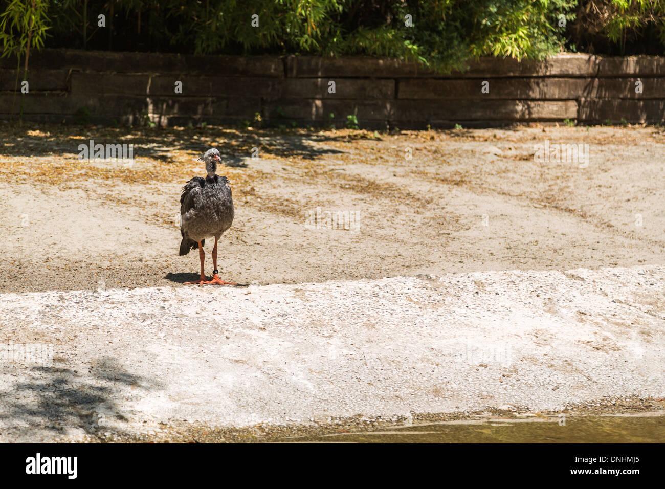Les jeunes (autruche Struthio camelus) dans un zoo, le Zoo de Barcelone, Barcelone, Catalogne, Espagne Banque D'Images