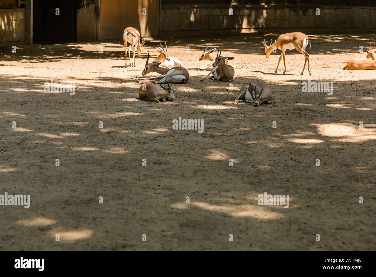 Les gazelles dans un zoo, le Zoo de Barcelone, Barcelone, Catalogne, Espagne Banque D'Images