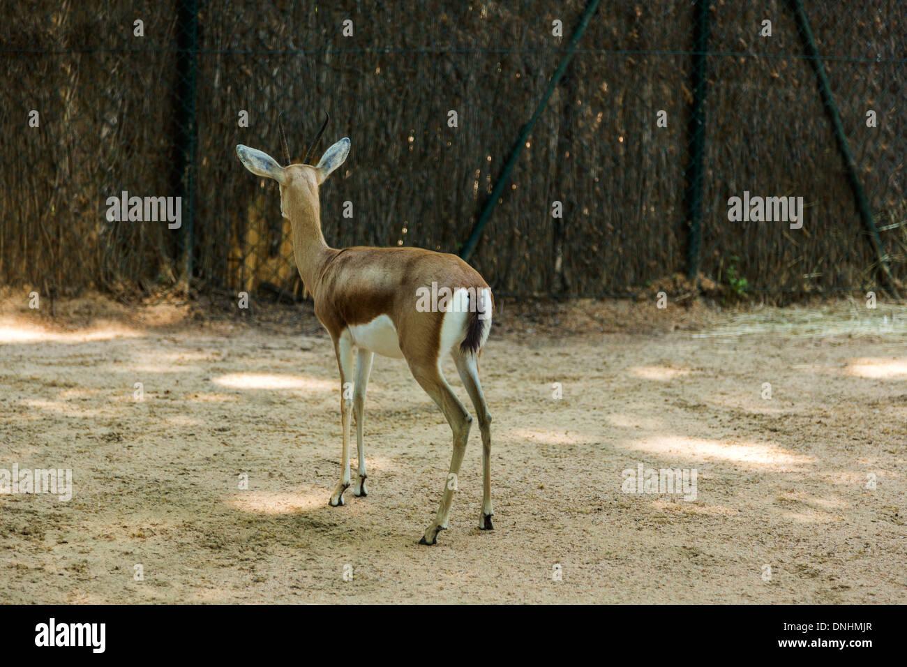 Gazelle dans un zoo, le Zoo de Barcelone, Barcelone, Catalogne, Espagne Banque D'Images