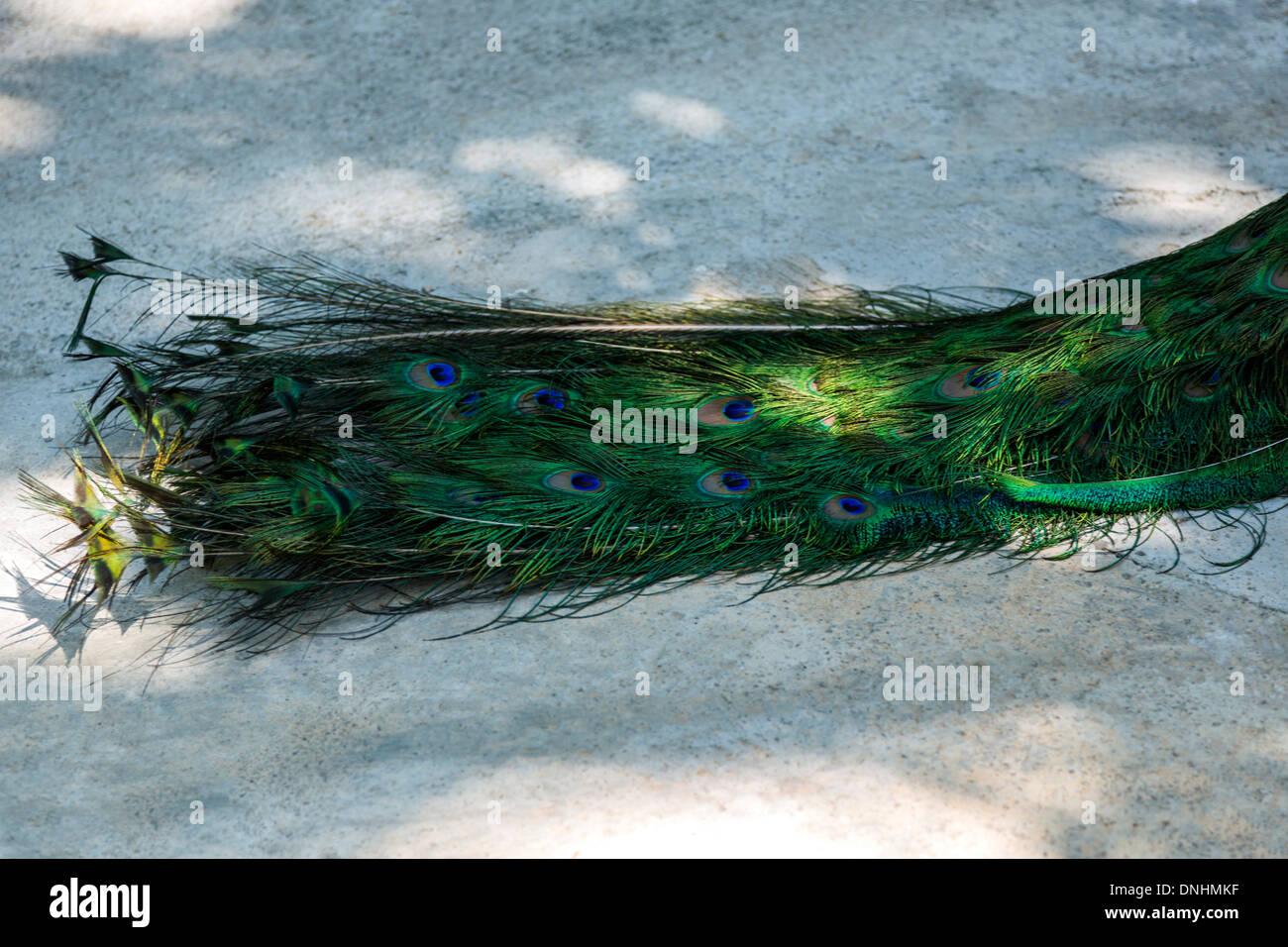 Les plumes de la queue des mâles paons indiens (Pavo cristatus), le Zoo de Barcelone, Barcelone, Catalogne, Espagne Banque D'Images