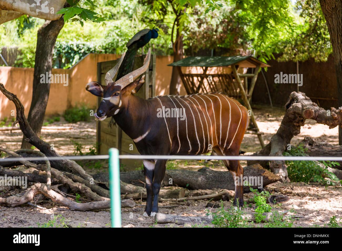 Bongo (Tragelaphus Eurycerus) dans un zoo, le Zoo de Barcelone, Barcelone, Catalogne, Espagne Banque D'Images