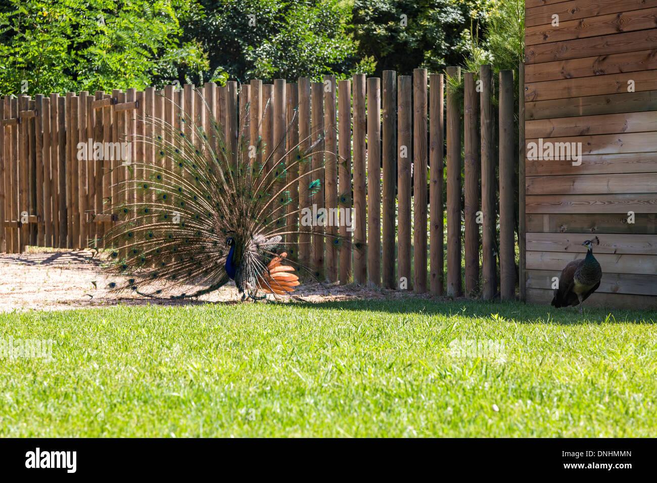 Paons Indiens de sexe masculin (Pavo cristatus) affichage plumage, le Zoo de Barcelone, Barcelone, Catalogne, Espagne Banque D'Images