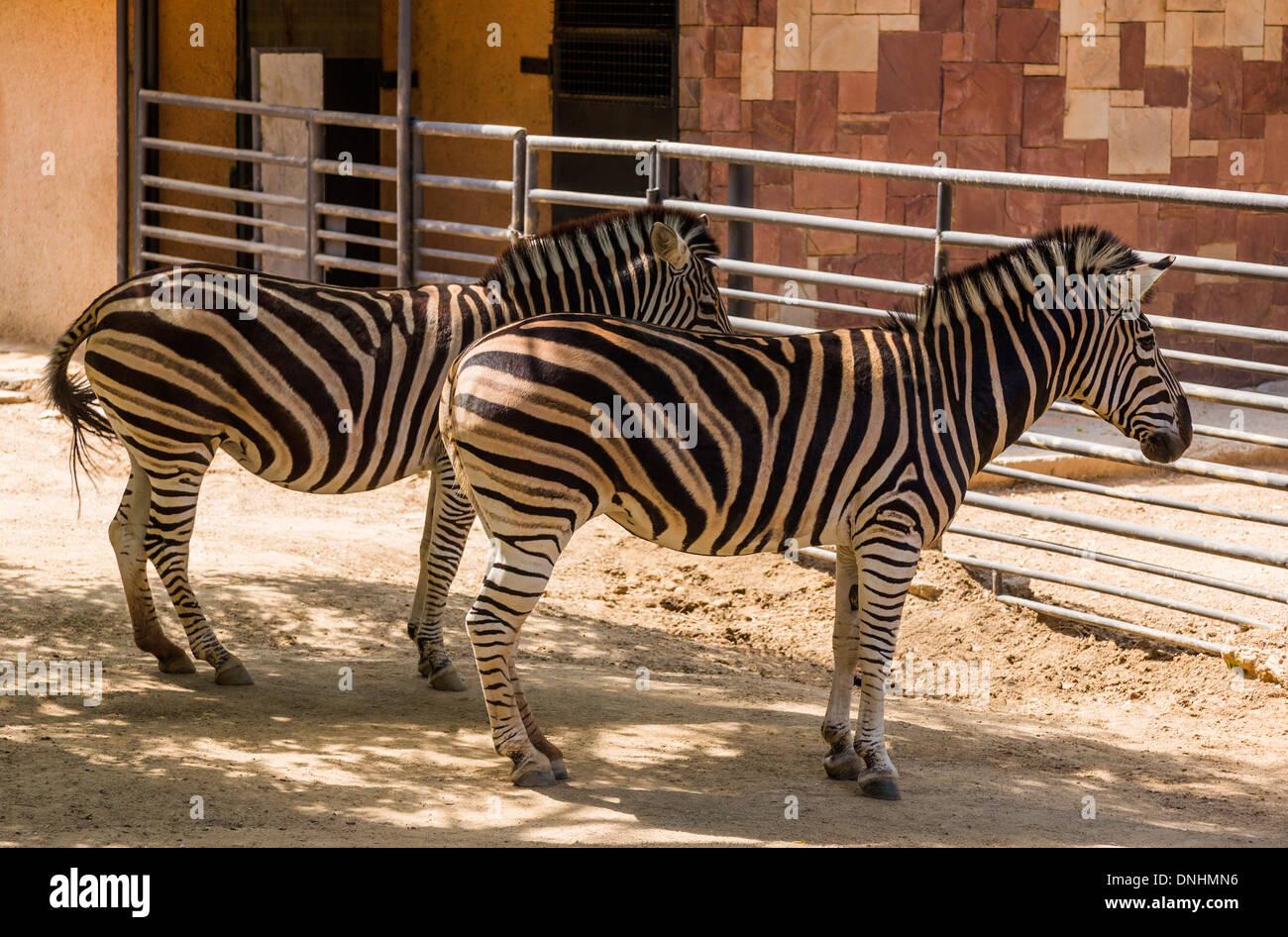 Les zèbres de Chapman (Equus quagga chapmani) dans un zoo, le Zoo de Barcelone, Barcelone, Catalogne, Espagne Banque D'Images
