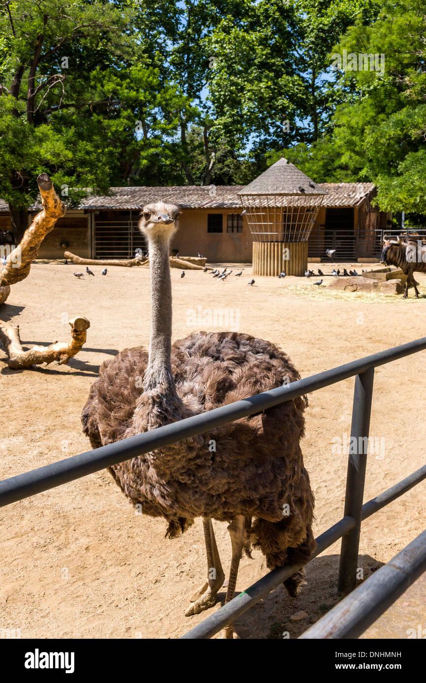 Autruche (Struthio camelus) dans un zoo, le Zoo de Barcelone, Barcelone, Catalogne, Espagne Banque D'Images